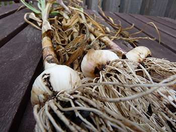 garlic-picture2